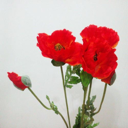 گل شقایق-لاله-داغدار