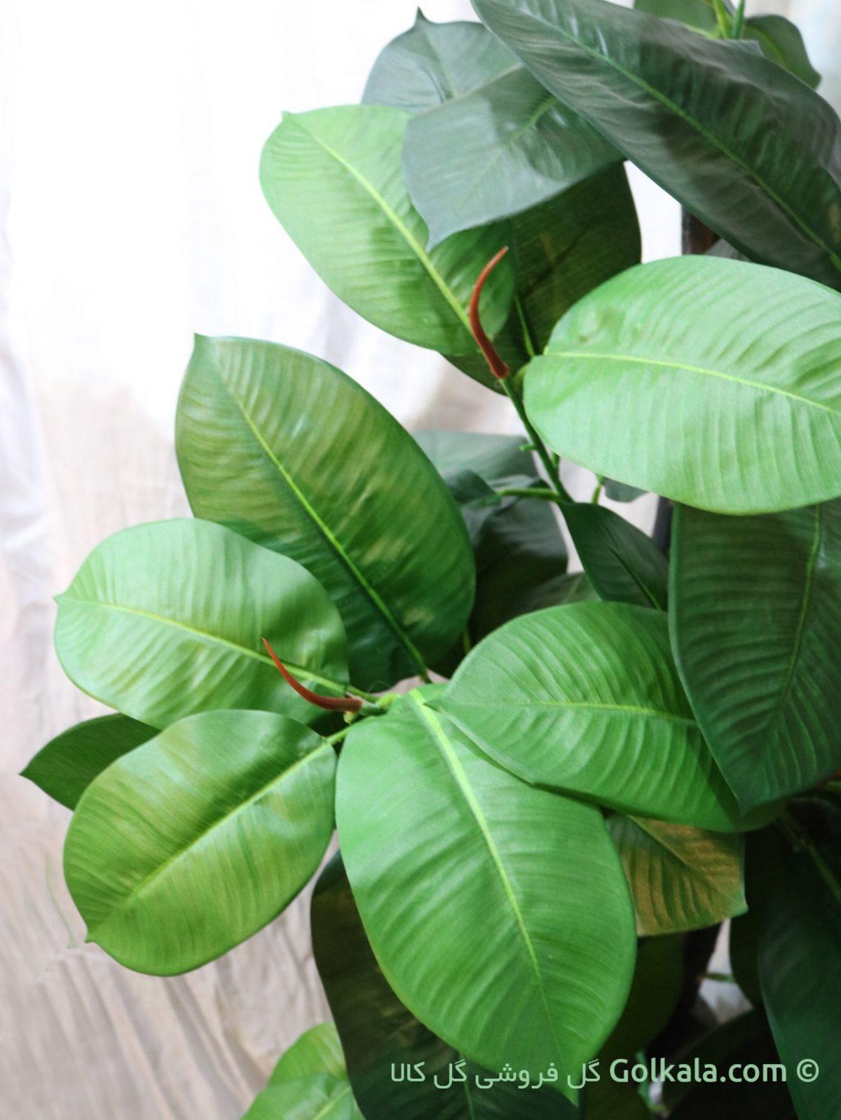 درختچه فیکوس بزرگ ماکرو