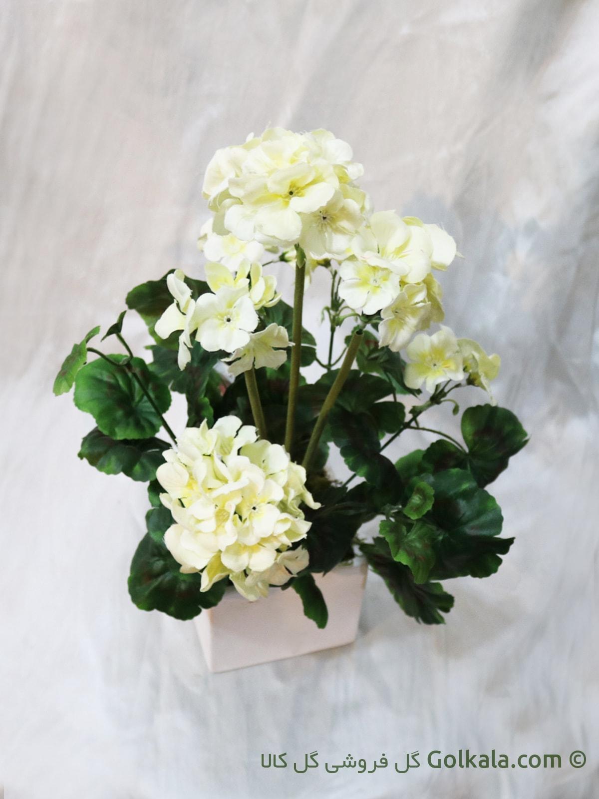 گل شمعدانی سفید, شمعدونی سفید
