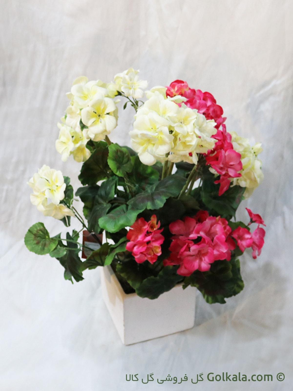 گل شمعدانی سفید صورتی