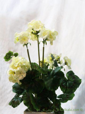 گل شمعدانی سفید, عکس گل