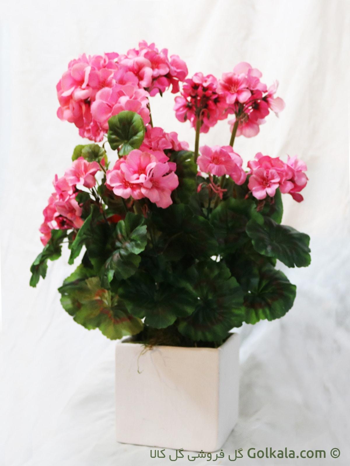 گل شمعدانی صورتی, کادو
