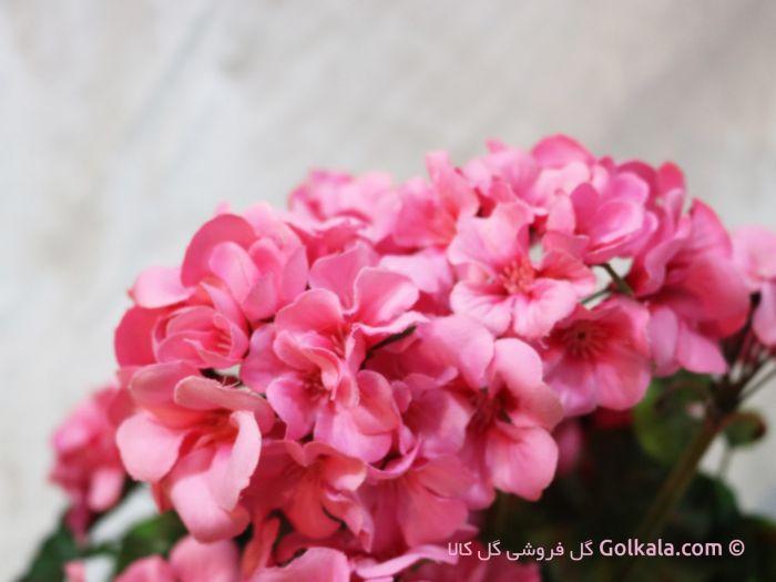 گل شمعدانی صورتی, عکس گل