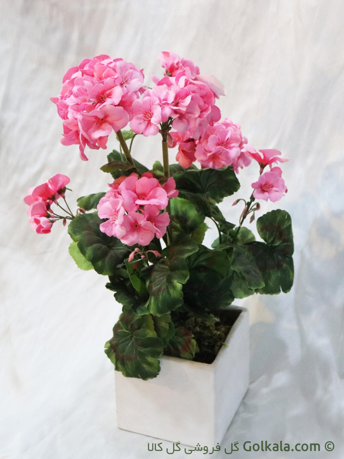 گل شمعدانی صورتی, گلدان