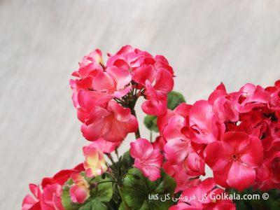 گل شمعدانی گلبهی, گلهای زیبا