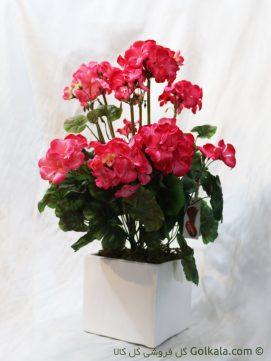خرید گل شمعدانی گلبهی